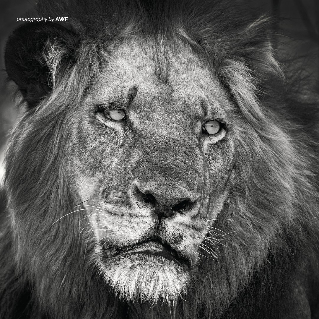 Poachers are targeting #lions in vulnerable areas across their sub-Saharan range. And they are not just using guns; they are poisoning water holes and setting snare traps with prey. https://t.co/p5eLUoDpCo https://t.co/mDoqp1iMvH