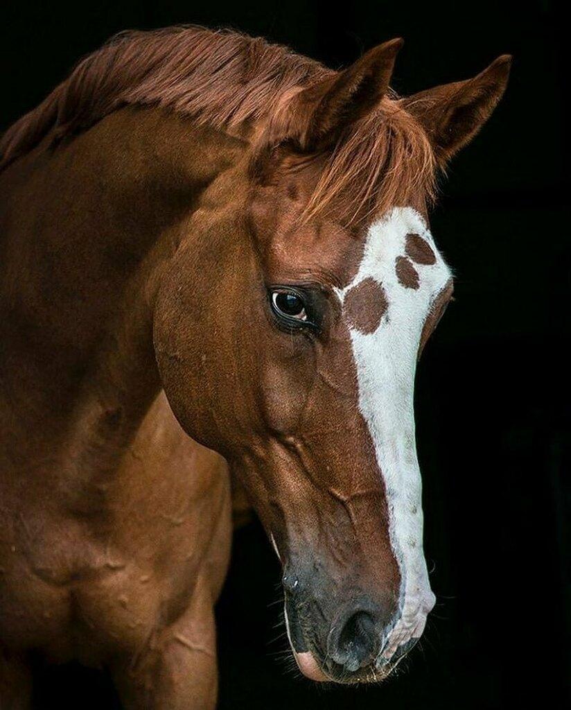 Coś dla fanów kasztanów i pięknych, klasycznych końskich portretów 😍  Autorką zdjęcia jest szwedzka fotografka koni Rosita Dahlberg 👏 — 📷➡️ https://t.co/0gIe0mjaFM —  @equistapl #pferdesport #equista #equinos #equistapl #equino #ogier #tophorse #amazi… https://t.co/bqXRws75PF https://t.co/AWFGurEBpS