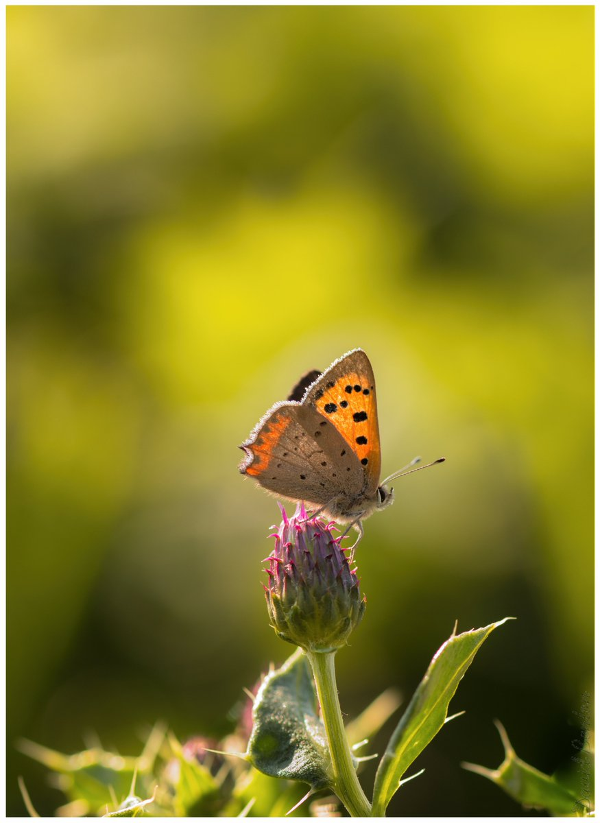 Filling my boots with small coppers (metaphorically speaking)🦋🤏👮. Well they have been absent from my life for so long so why not. [Portrait please click].  (No butterflies were harmed in the making of this tweet). @BC_WestMids @ukbutterflies https://t.co/Sc4cvgxn81