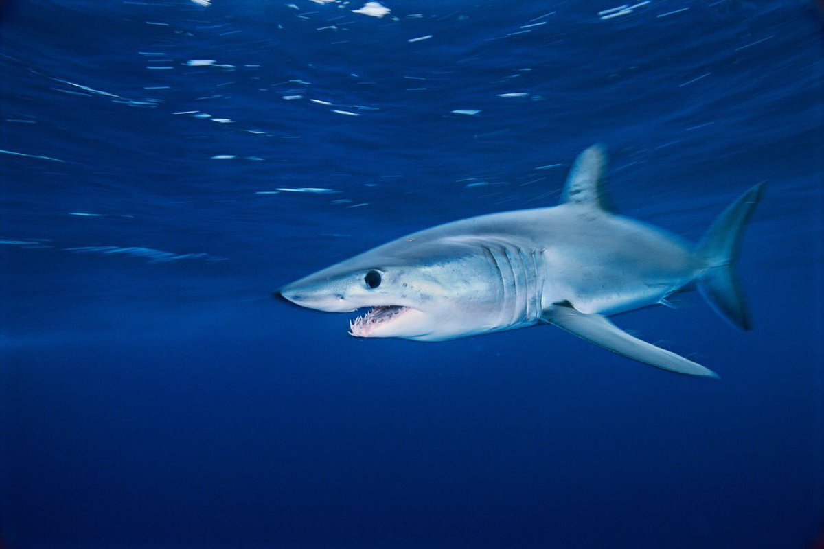 #MakeTime4Makos & read this thread from @PescaWWF! The 🇪🇺 cosponsored @CITES listing for makos, yet drives overfishing in Atlantic. @VSinkevicius you can be the solution! #followthescience, prohibit retention as a priority action for #ICCAT2020 #SharkLeague