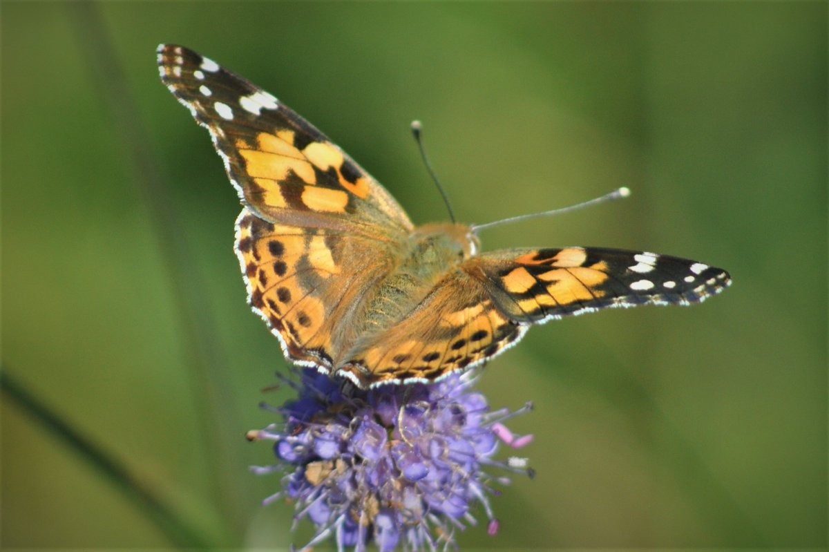 Finally managed to get my first Painted Lady of the season today at Trench Wood, Worcs. Thanks to the gentleman doing his count who pointed me in the direction of this beauty. @WorcsWT @savebutterflies @BC_WestMids https://t.co/UhWA31KS7D