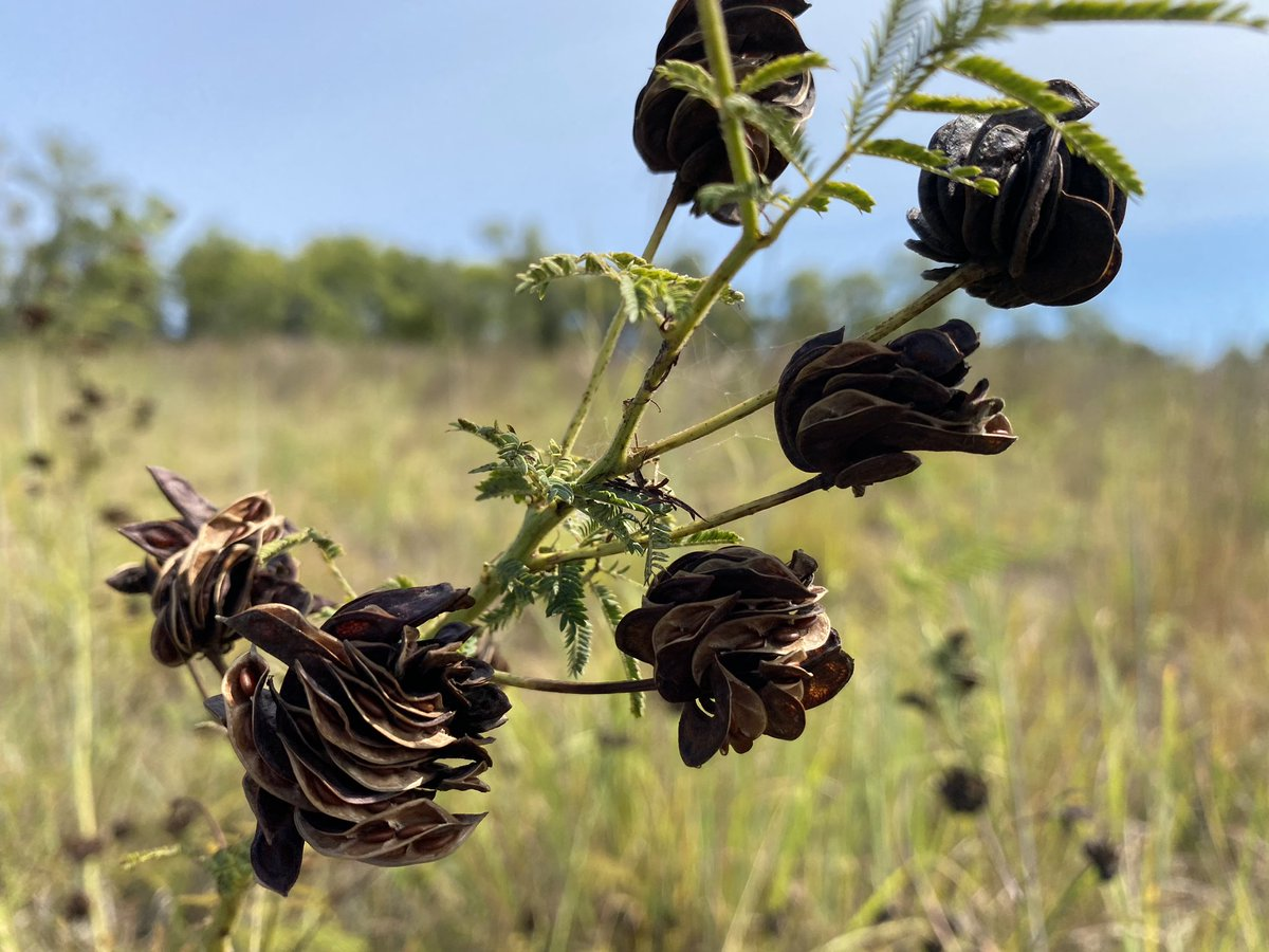 As autumn touches the prairie, flowers transform to wraith skeletons.  #poetry #poetrycommunity #poetrylovers #poem #poems #poemoftheday #writing #writer #writerslife #writers #poet  #haiku #instahaiku #haikucommunity https://t.co/44GmxbCZp0
