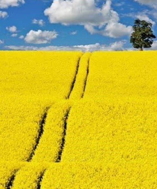 Canola values are firm, keep on track with Grain Brokers for your grain marketing  🌾 📷  credit: Ande  #GBA #grainbrokersaustralia #letsgrowtogether #agriculture #agribusiness #farming #farmers #weareausfarmers #growingthecrop #crop #grow #growing #canola #values #keepontrack https://t.co/2jnROB3QEy
