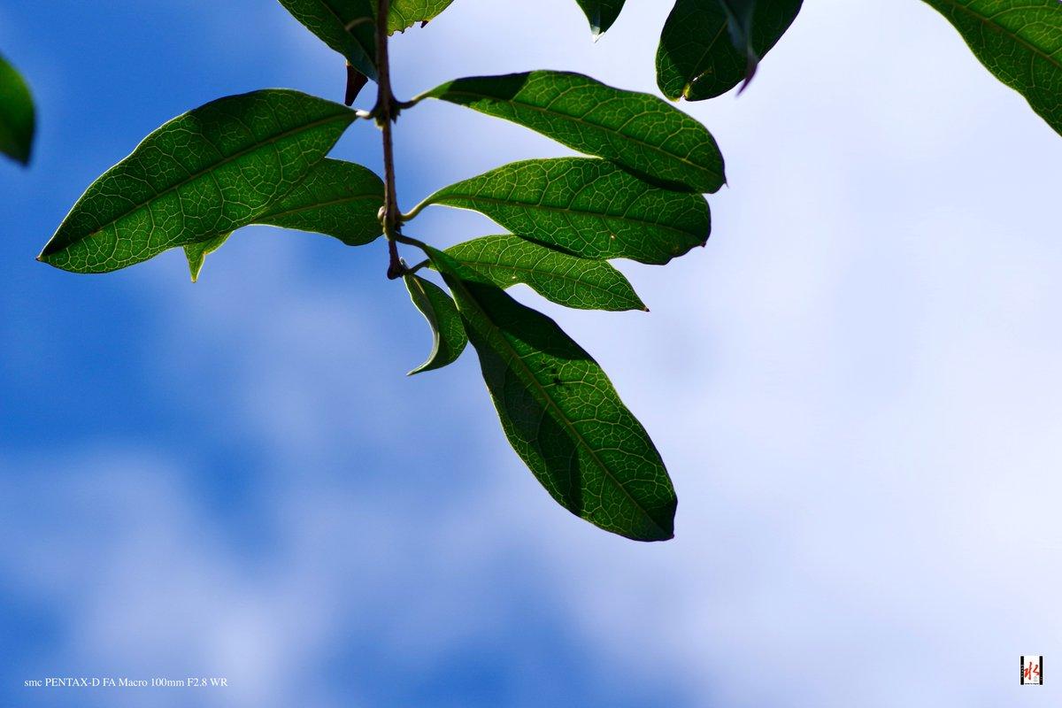 青い空 白い雲 金木犀の葉🌿  Camera : PENTAX K-70 Lens : smc PENTAX-D FA Macro 100mm F2.8 WR #青い空と白い雲  #青空 #金木犀 #キンモクセイ #葉っぱ #pentax #k70 #Macro_100mm https://t.co/gTDFmtQzIn