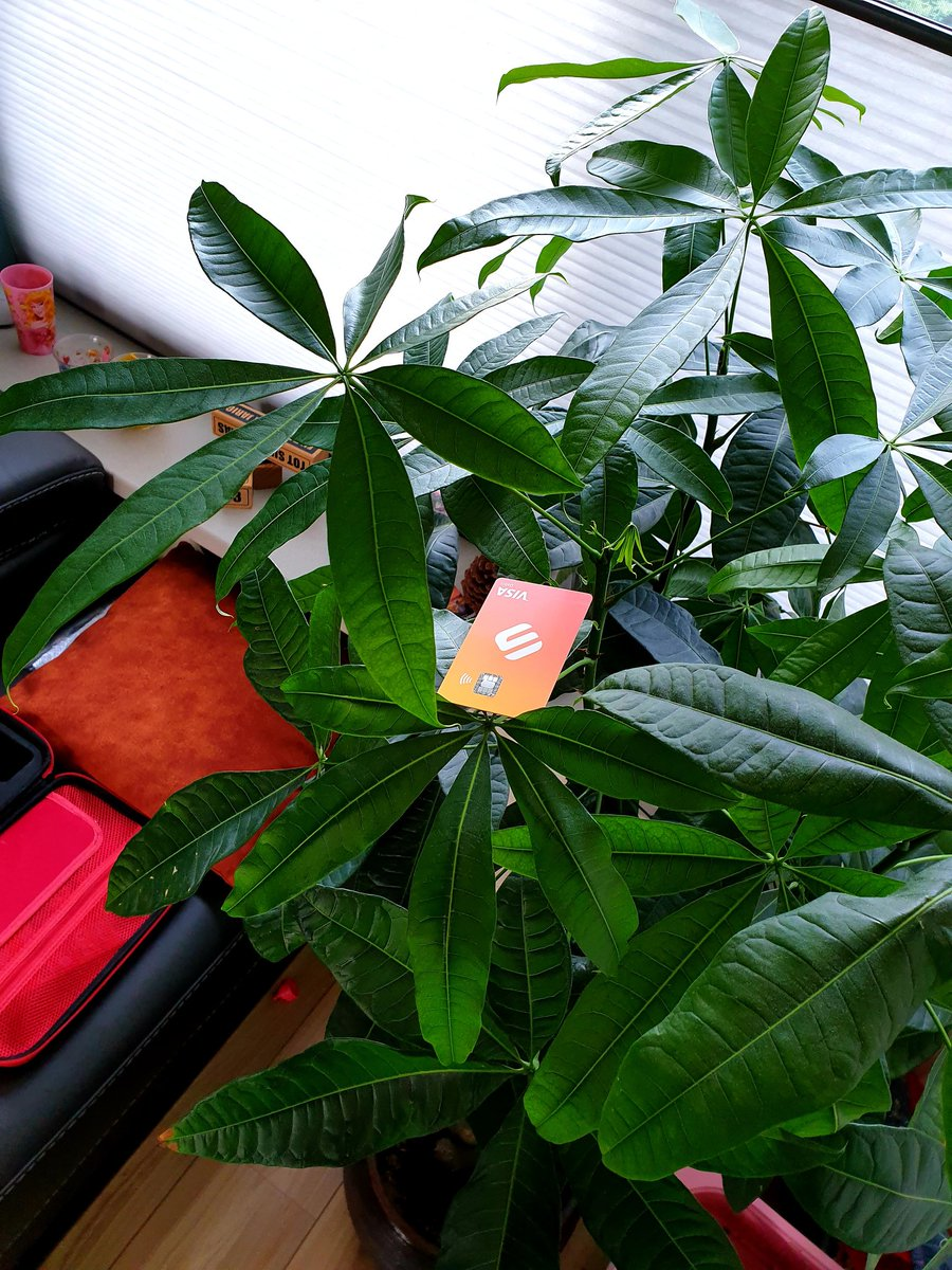 #gotswipe in my money tree (Pachira aquatica), hope there will grow money soon 😁 https://t.co/9GcmQlKkRN