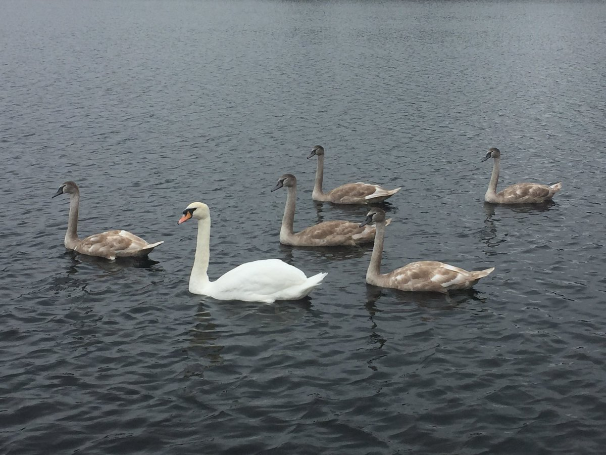 Wonderful shot of the family of swans on our lake! A fantastic area to view wildlife so if you visiting soon it is a must see! #blarneycastleandgardens #purecorkwelcomes #purecork #wildlife #swans #makeabreakforit #nature https://t.co/2Qa6rcKABo