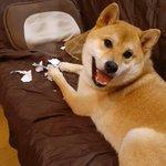 ドヤ顔すぎる柴犬「国勢調査!?僕がやっつけておきましたよ!」