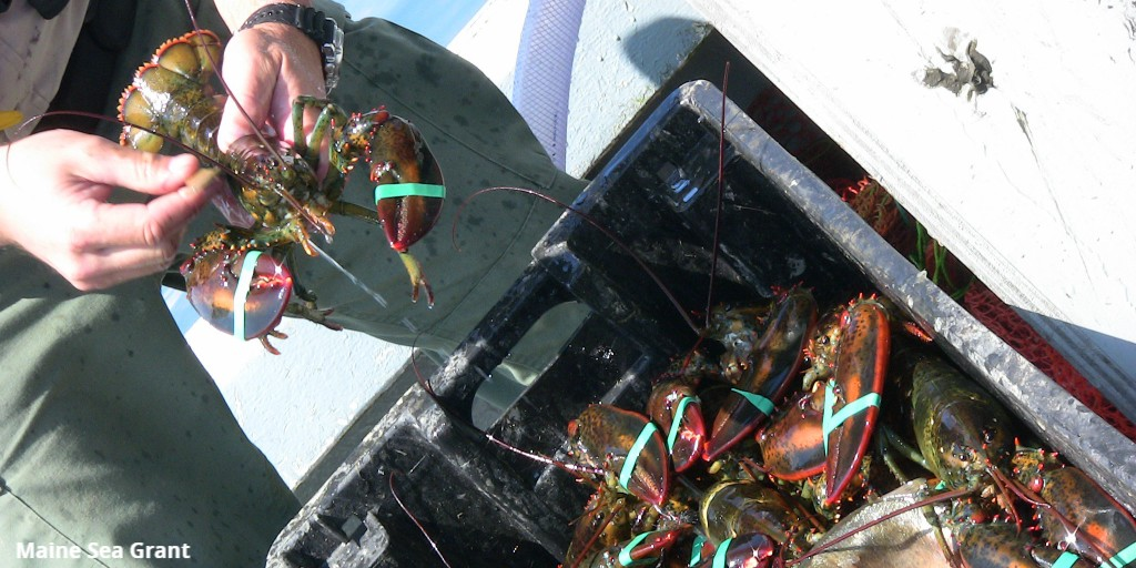 Excited that projects at @MassDMF @WHOI and @UMassAmherst Gloucester Marine Station are part of this award. Looking forward to supporting the researchers locally and seeing the results of their work in this important #Massachusetts #fisheries. #lobster