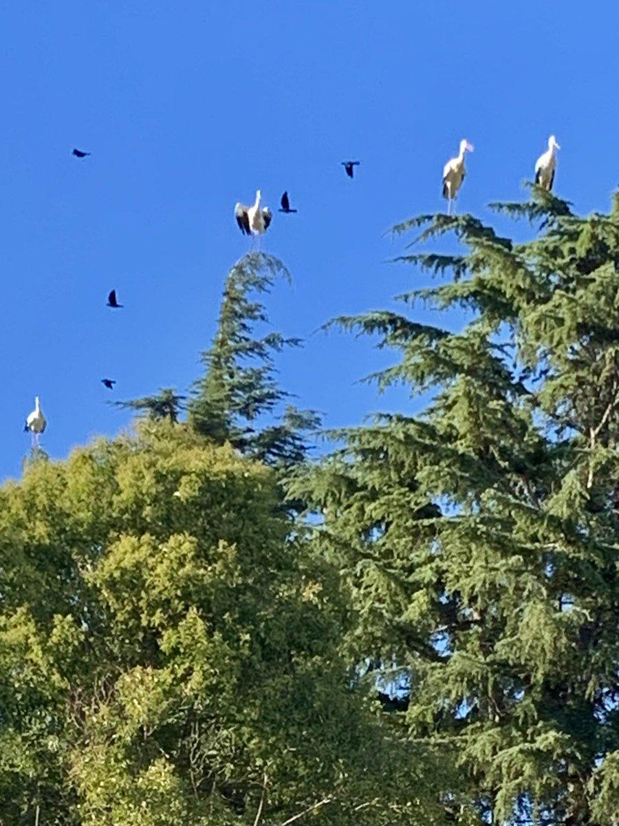 Les #cigognes sont à @VBaillargues ... je répète les cigognes sont à Baillargues dans l'#Herault 😊 https://t.co/3u4JgZCEIl