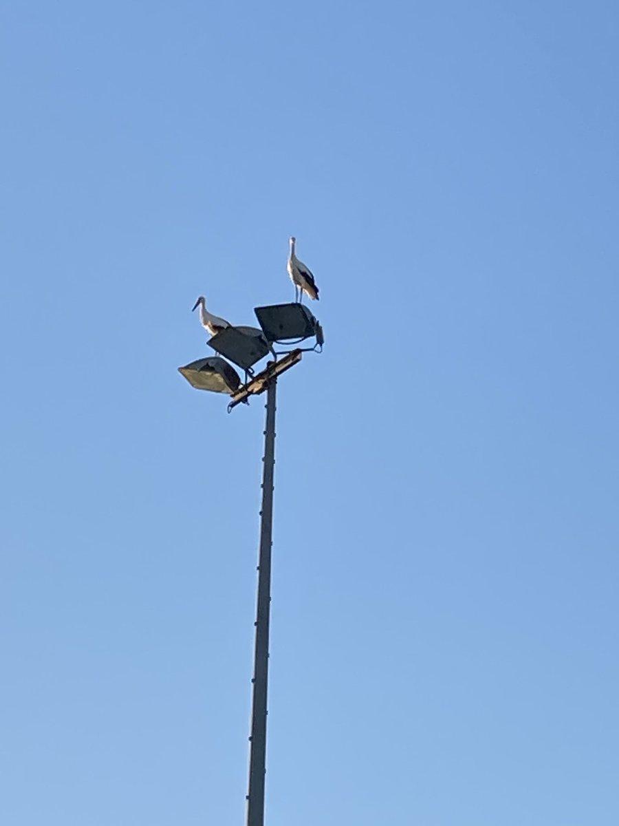 Perchées sur les pylônes du stade des Pins de @VilleCastries, les #cigognes sont-elles annonciatrices d'un heureux événement avec la naissance d'une nouvelle pelouse synthétique ou surveillent-elles tout simplement les travaux? ⚽️😁#CastriesSeVit https://t.co/SqNk4Lzp2o
