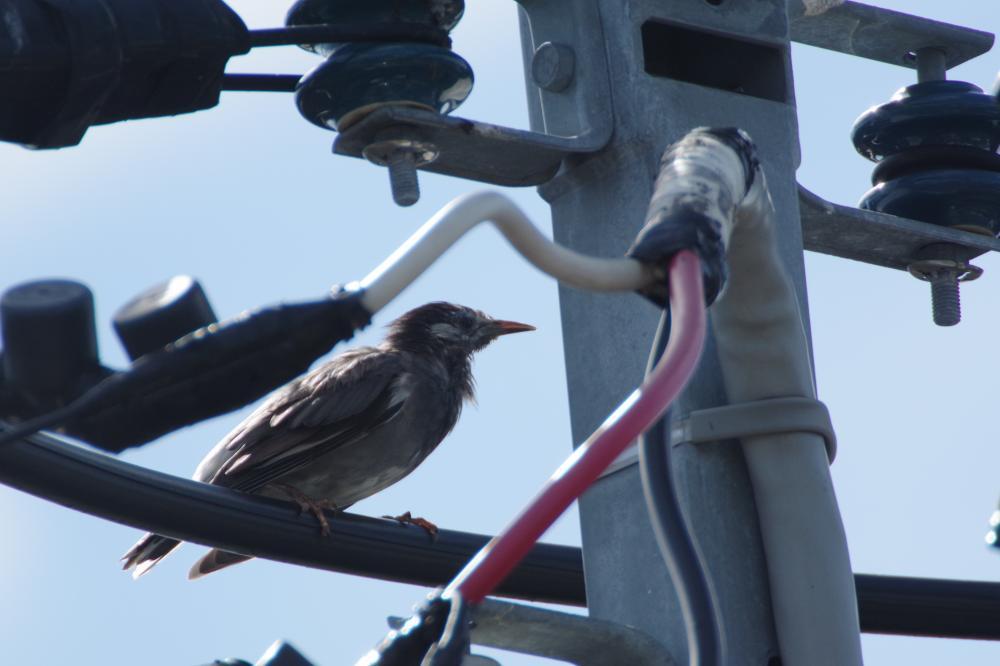 今朝のご近所さん。 電線がこんだけあると、外敵に襲われにくいのかな~。 #PENTAX #PENTAX_K_70 https://t.co/YebKstttRs