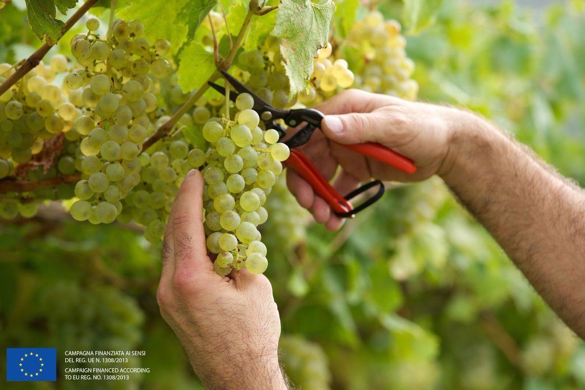The harvest here in Trentodoc is in full swing. All 55 producers are bringing in the grapes and continuing the process of making Trentodoc's signature classic method sparkling wine. #trentodoc https://t.co/xVoj7mYOB6