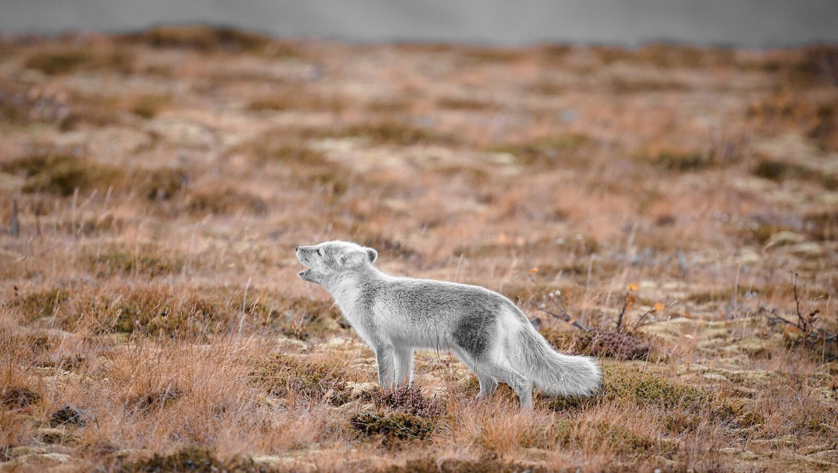 "In Sweden, an experienced walker or adventurer who traverses the great Scandinavian outdoors is known as ""a true arctic fox"". That is how the name came to be, we are The Arctic Fox. We are Fjällräven.⁠ ⁠ Learn more about our story: https://t.co/LxVwI41D1S 