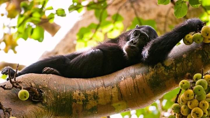 Weekend Moods Activated !!! #KibaleforestNationalPark is an adventure you shouldn't be told about. Being popular for its population of habituated #chimpanzees and twelve other species of primates, https://t.co/XtNJJ7bCMm #Ugandatours #Messi #USOpen #KohLanta2020  #NBAPlayoffs https://t.co/9qaIlCCZrD