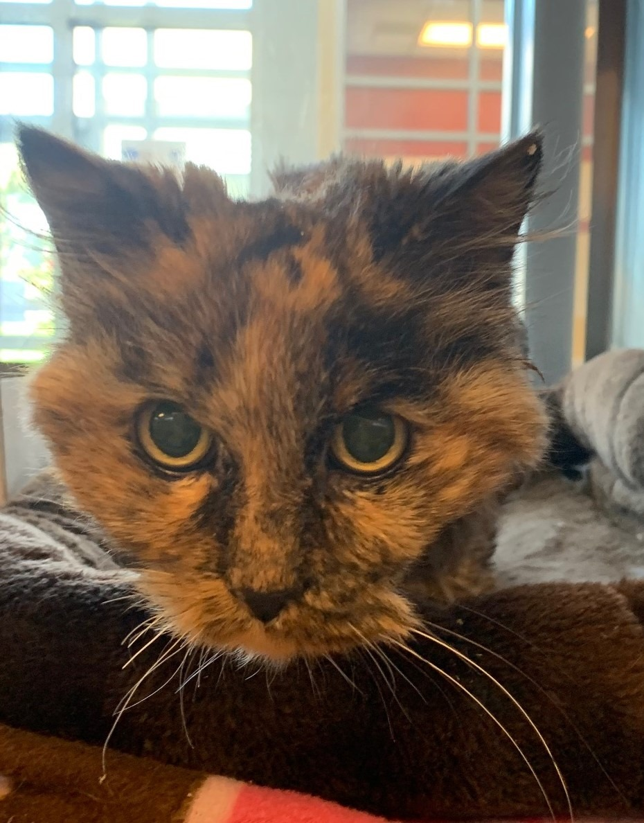 """Gorgeous senior tortie kitty """"Miss Furbulous"""" had a bad hair day when she came into the shelter in #CarroltonTX as a stray! Let's get this girl into a quiet home & on a warm lap! Call 972-466-3420 for an appointment! Adopt! Pledge for rescue! VERY URGENT! https://t.co/3eS2CxFZHL https://t.co/kjBiH2Z6YZ"""