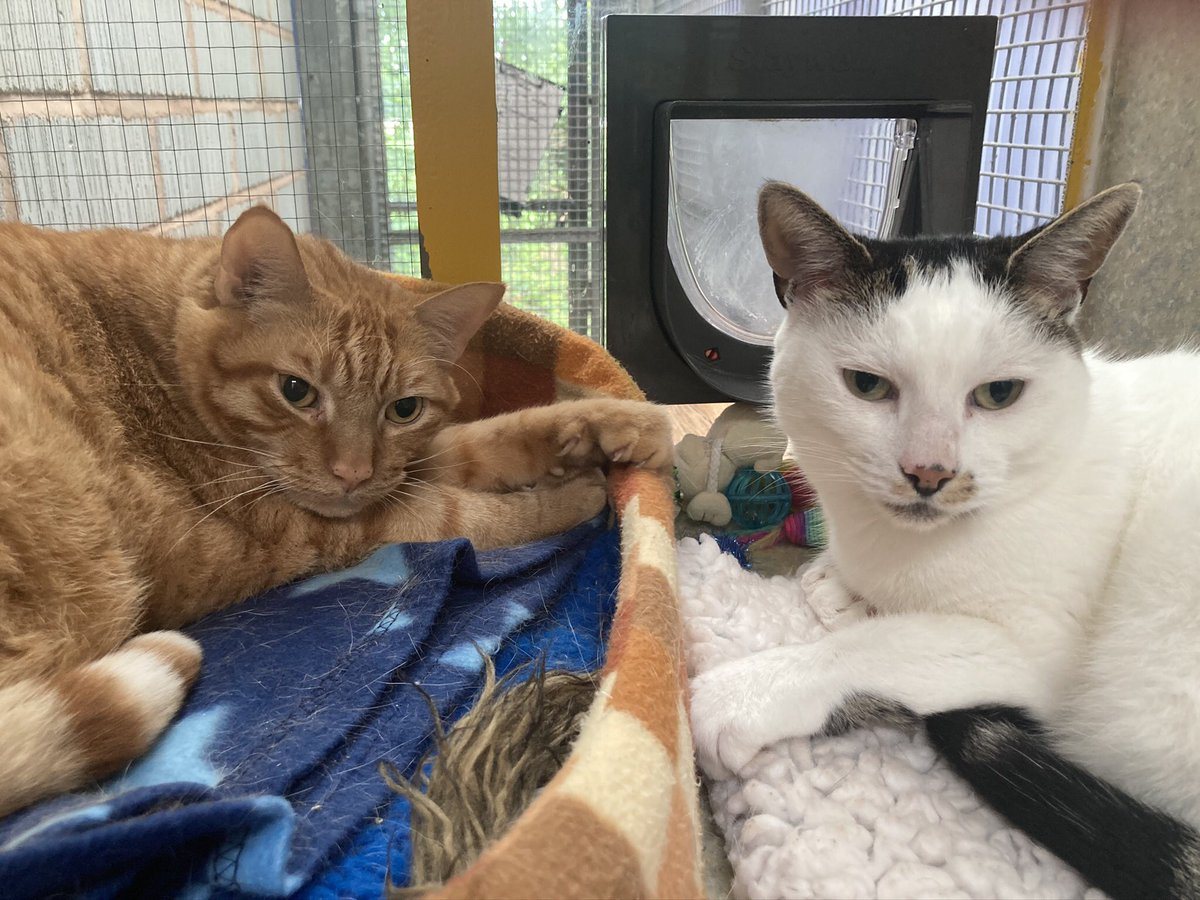 10 year old friends Woody and Freddy are looking for a new home together. They're very friendly and like to sit on laps. Do you have the home for these bonded friends? For more info: https://t.co/c1Lsjoszai #AdoptDontShop #HereForTheCats #Caturday https://t.co/wmMorgA6MO