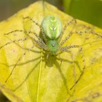 Image for the Tweet beginning: Green Lynx Spiders waiting for