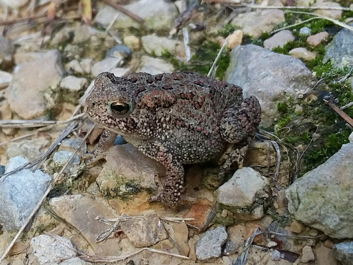 Have a toadally safe and awesome Labor Day weekend!  #toad #toadally #SaturdayMorning #MaskUp #SaturdayThoughts #amphibian #americantoad #herps #BeKind #WeekendWisdom #LaborDayWeekend https://t.co/zmNiPBs5QR
