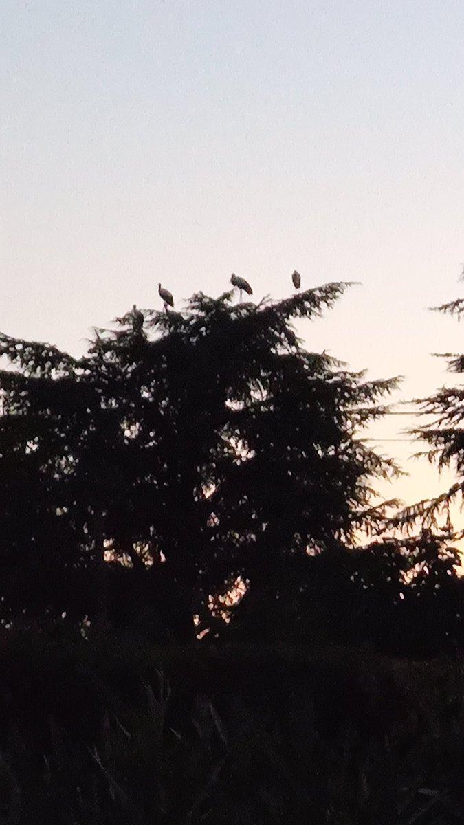 Passage de cigognes sur @VMontelimar  secteur portes de Provence #Montelimar #cigognes #Nature https://t.co/fcJtRMPgAq