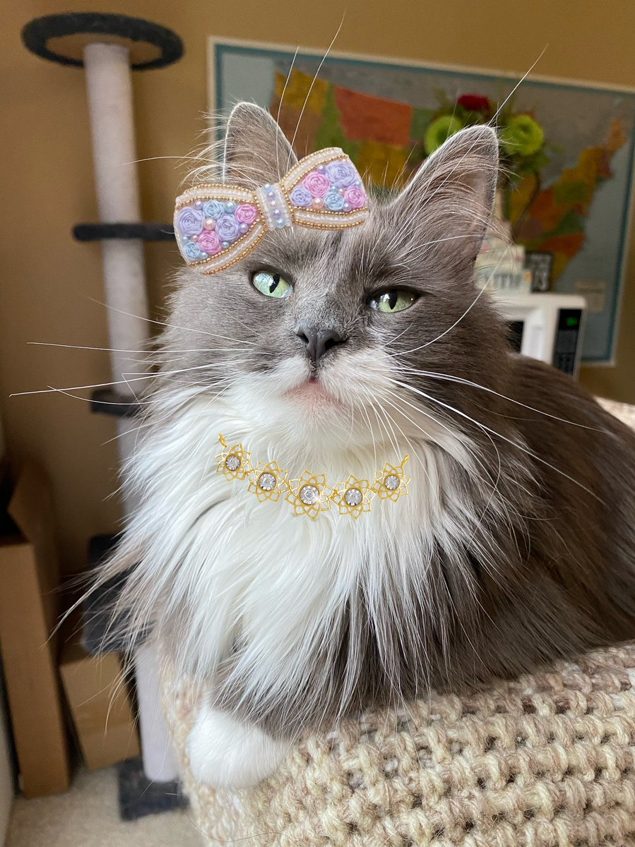 I'm all done up and ready for the #WeddingoftheCentury!!!💁‍♀️ Eeek I'm sooo excited!!!😻😻 *claps paws*🐾🐾 @carolineCMCE @JoyOfCats https://t.co/wL1Ebq95en