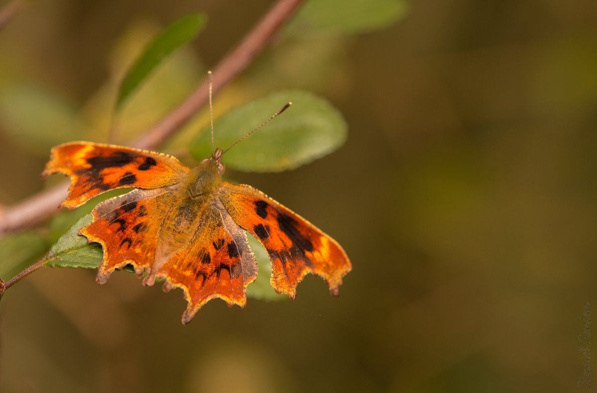 Very happy to have found this aberration of comma in Monkwood today (suffusa?). I think it's gorgeous! @WorcsWT @BC_WestMids @ukbutterflies https://t.co/ZzCmcRyn6g