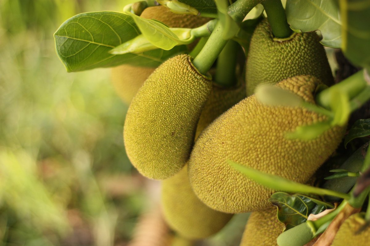 Trees are perhaps our greatest tool to solve climate change, end food insecurity, and maintain freshwater resources.  Read more on sustainable forestry crops on our latest blog: https://t.co/bAVNV9Ecvs . #forestry #regenerativeagriculture #breadfruit #jackfruit https://t.co/JTKVyRpaHt