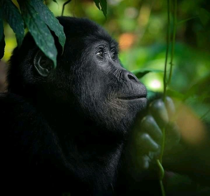 #FactsAnimals #AnimalOfTheDay They canthinkabout the minds of others, but only when those minds have the same contents as theirs.  #gorillaTracking #kibaleNationalPark https://t.co/i9sibrrJHo