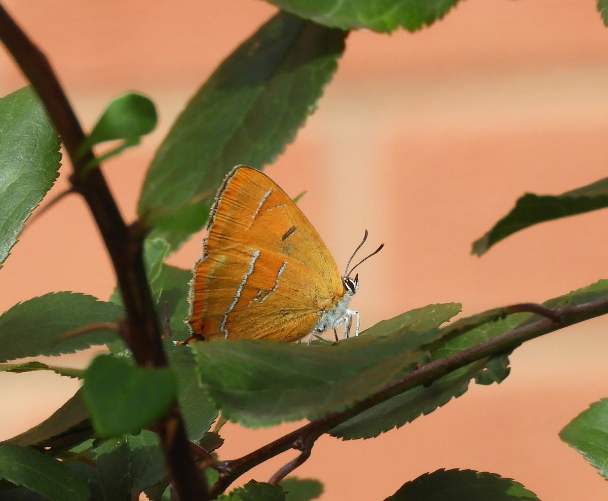 Female Brown Hairstreak photographed in our garden in Redditch, Worcestershire today. First sighting in this location. Fantastic to see! @WorcsWT  @savebutterflies @ukbutterflies https://t.co/O2009VHLZd
