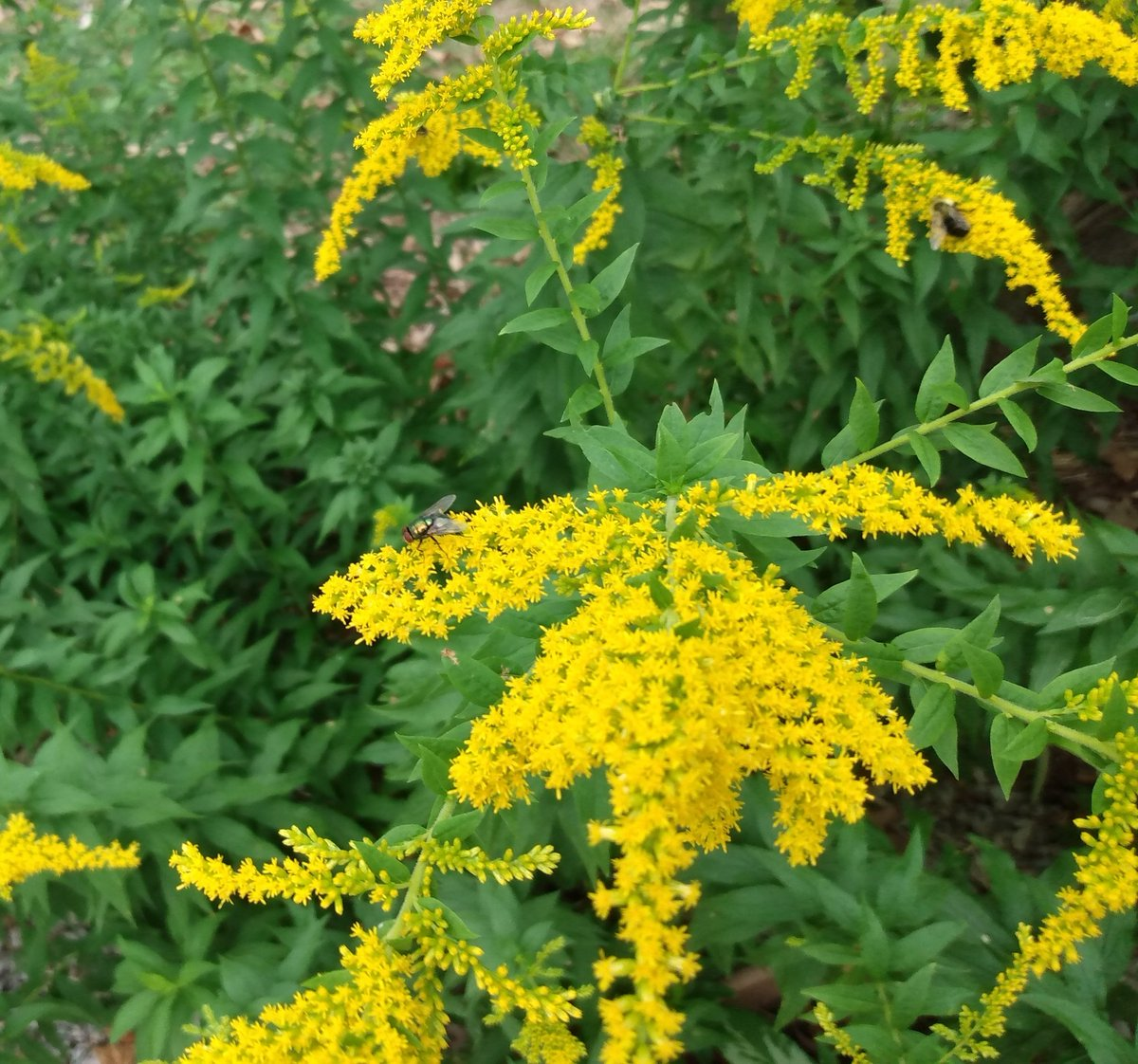 Lovely native plants like goldenrod (solidago canadensis) can often be mistaken for weeds before they bloom. But pulling them out takes away prime habitat for hundreds of insects, including native pollinators! #pollinators #nativeplants #nativeplantgarden #lowmaintenancelandscape https://t.co/9oBbKo1L0i
