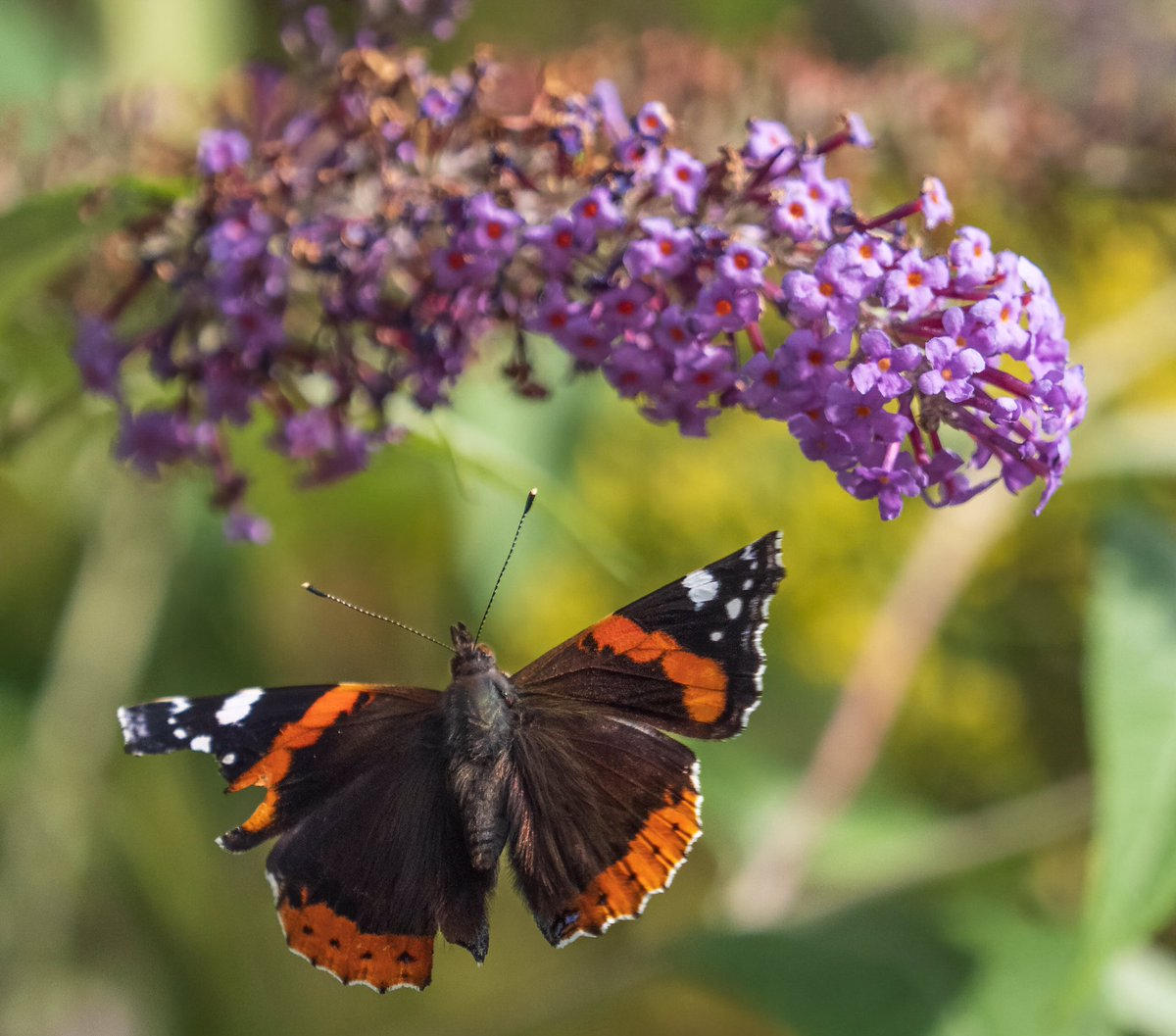 Red admiral, rather tatty, about to land on buddleia @BC_WestMids @savebutterflies #wexmondays #BBCWildlifePOTD https://t.co/3Vav4Rzwf7
