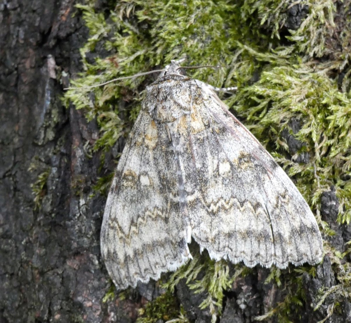 Monster Moth.  A big thank you to Mike Southall for letting us see his Clifden Nonpareil today prior to release.  They're incredible moths and hopefully we shall see more now we know that they are now breeding in the region. Pics from @mikethebike9  @savebutterflies #MothsMatter https://t.co/quPqZAdFxV