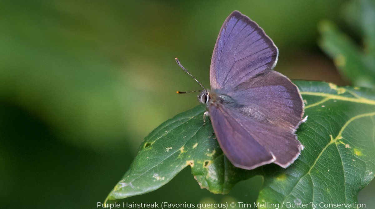First Purple Hairstreak butterfly recorded in South #Lanarkshire for 175 years 👉 https://t.co/LsWjw6fHwg  @BC_Scotland @BC_SWScotland https://t.co/O5c2Cds5ta