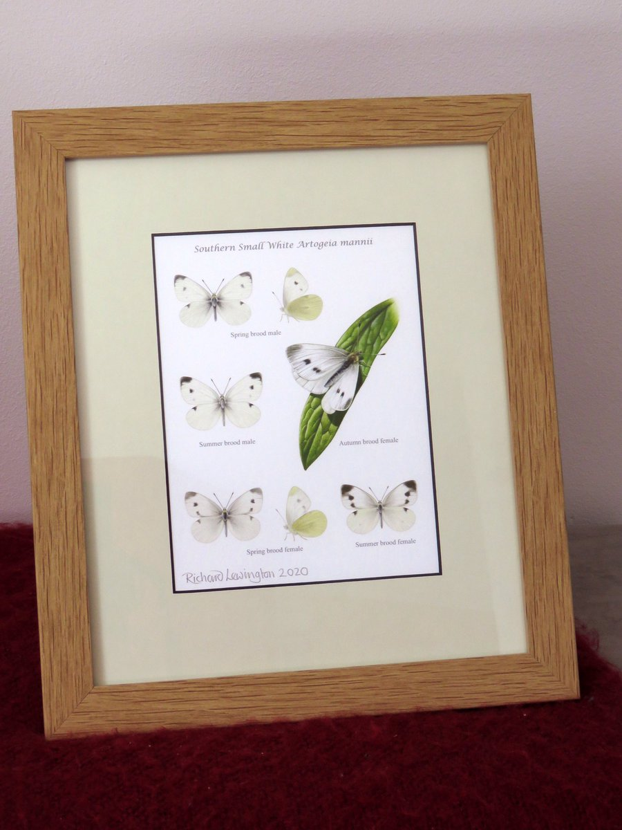 We're offering a prize for the first confirmed UK record, this signed and framed print of the butterfly by the highly acclaimed @rlewington2 https://t.co/e0lcVrxevy https://t.co/wA1s4yCQOP