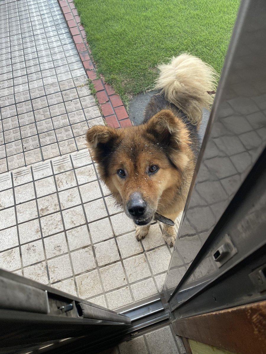もし飼い主さんが見つからない場合は茨城動物指導センターに送られて処分されてしまうそうです。万が一飼い主さんが見つからない場合飼っていただける方いませんか?とても人懐っこい子で呼んだら駆け寄って来る可愛いワンちゃんでした。ご協力お願いします。 #結城市 #迷子犬