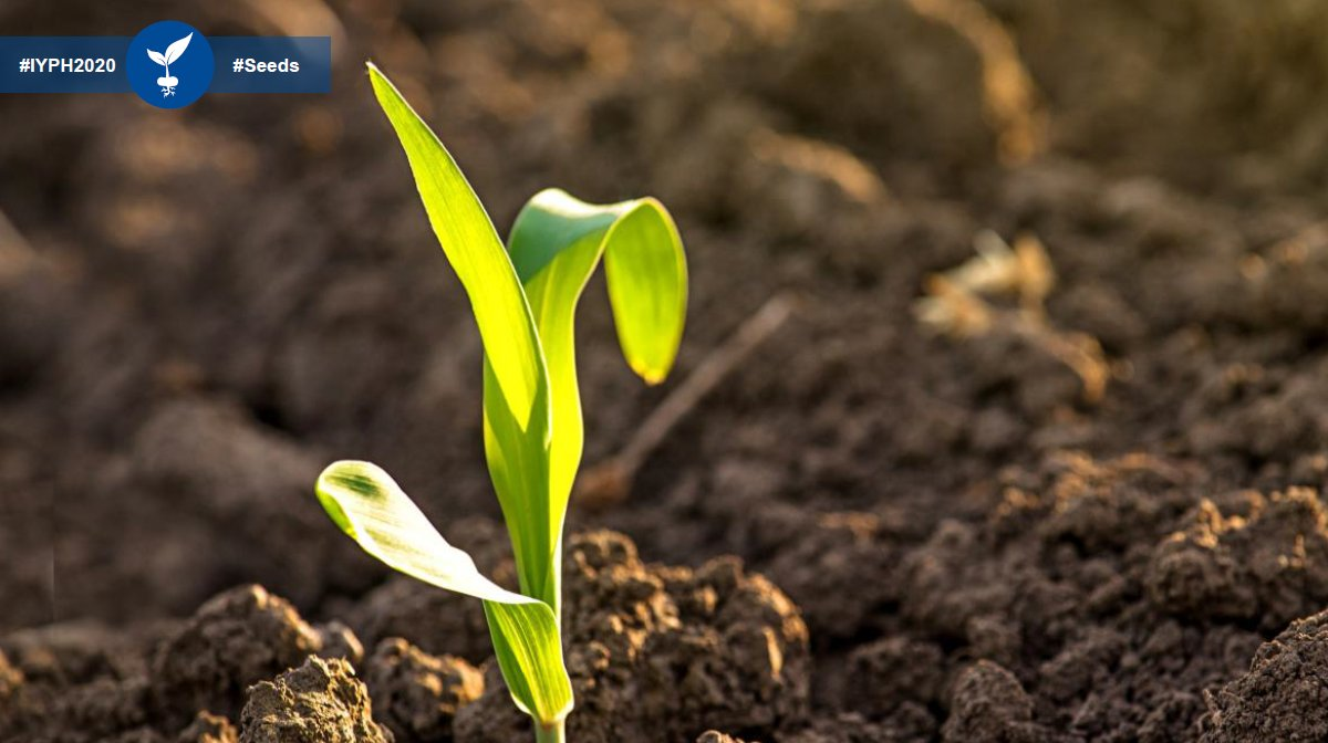 The #UN declared 2020 the #InternationalYearOfPlantHealth. Get insights on our key crops for #seeds in EMEA - wheat, oilseed rape, sunflower and cotton - over the next weeks & learn about the importance of #PlantHealth starting with seeds!  #StayTuned #IYPH2020 @EuroseedsEU @FAO https://t.co/ZaLW7yKlVa