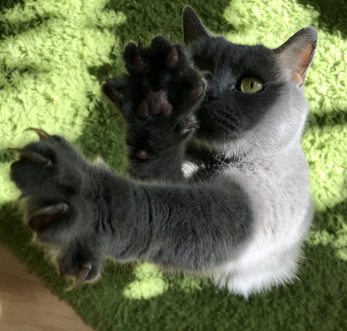 Happy #ToeBeanTuesday ! 🐾💚#PawsNeedClaws #CatsOfTwitter #Cats #TunaTuesday https://t.co/07WS1hHu5e
