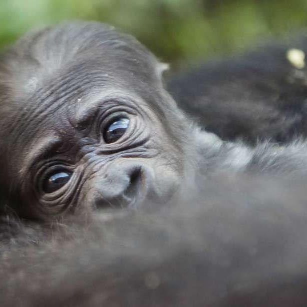 #visituganda #luxury #travel #gorillatracking #naturelovers #photography #adventure #babygorilla #trekking book now at kitanda@infocom.co.ug or https://t.co/PVMOA2PGs4 https://t.co/wNKWBcbKfd