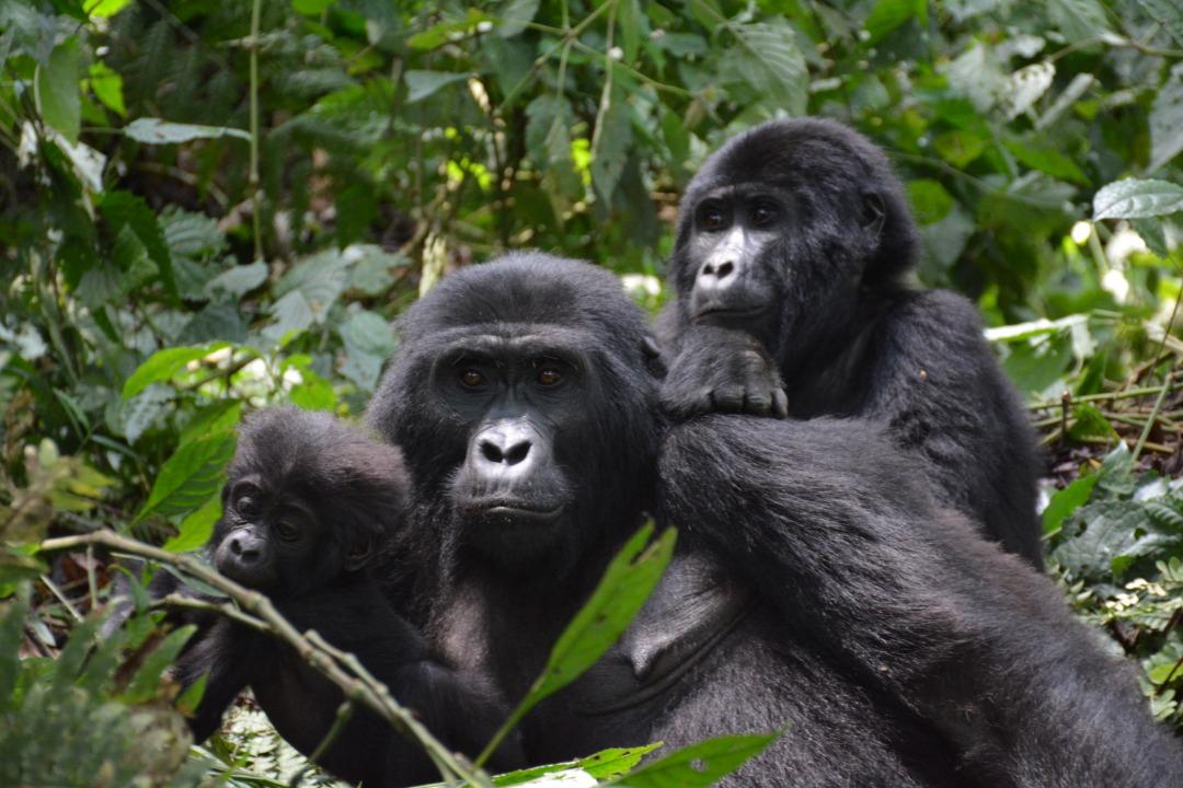 #VisitUganda #LuxuryTravel #touroperator #travelagents #travelagencies #friendly #naturelovers #Photography #birdwatchinglovers #gorillatracking #SafaricomForYou #Chimpanzees #UnitedStates #UnitedKingdom #UnitedStates #China #Germany book now at kitanda@infocom.co.ug https://t.co/UHTZoW5JFN