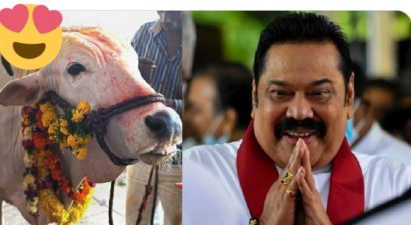 "AjatShatru ™ ©️ on Twitter: ""Sri Lanka Soon Ban Cow Slaughter, PM  Rajapaksa's Party Approves Proposal Sri Lanka is a Buddhist-majority  country The ruling Sri Lanka Podujana Peramuna (SLPP), which won a"