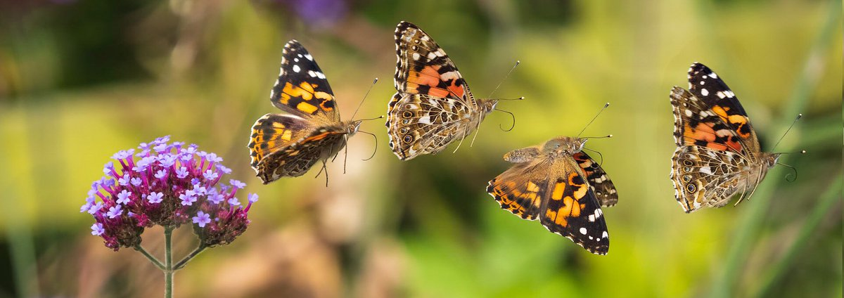One of last year's highlights and a double page spread in my upcoming book Hill & Dale, my Shropshire year out end of October. Painted lady take-off in my garden @BC_WestMids #BBCWildlifePOTD @savebutterflies @BBCCountryfile @BBCSpringwatch https://t.co/MzUxHg53Hn