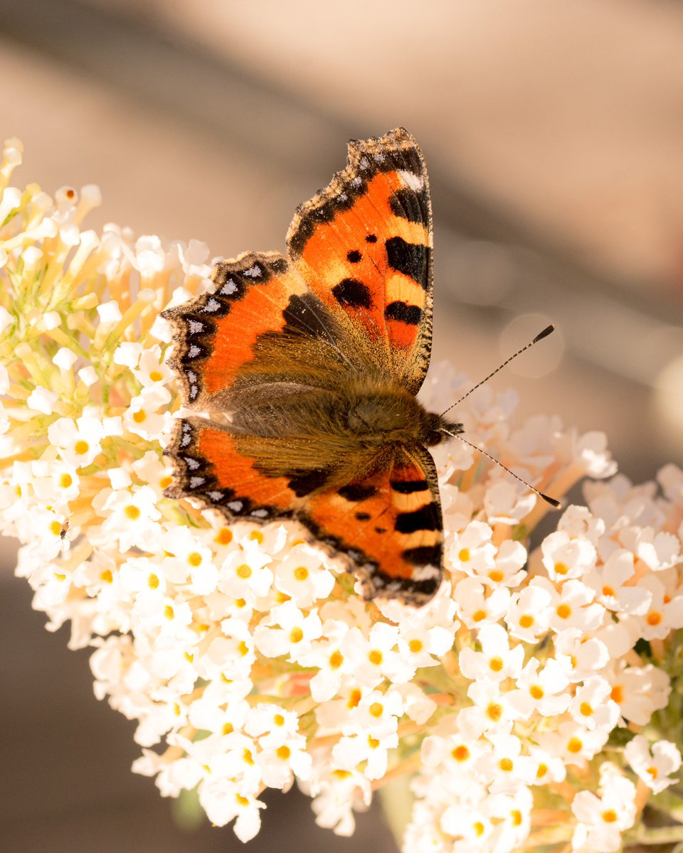 Small tortoiseshell butterfly on white buddleia 🦋   (I'm so pleased the pollinators are enjoying the buddleia plants I bought for the garden 😊)  #butterflies #wildlifephotography  @BC_WestMids @savebutterflies @ukbutterflies @MacroHour @StaffsWildlife @Natures_Voice https://t.co/aG66t5lXWZ