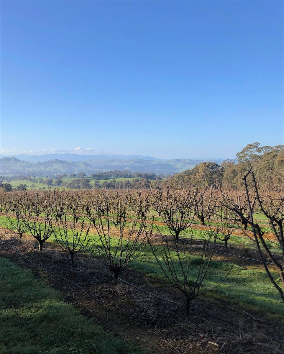 What a beautiful day! So lucky to have this as our office and be working outside on a day like today. 🍒  #aussiefarmers #australiancherries #discoverdindi #allabouttaste #koalacherries https://t.co/3KnDuuTq3X