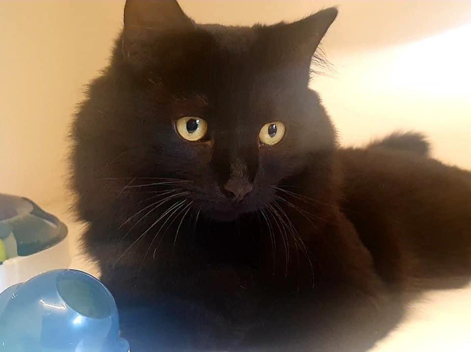 As usual, it's a black cat that's been left until last in a rescue centre  closing down due to lack of funds. Everything about this makes me so sad. Beautiful, beautiful Eric. Let's find him a home?  https://t.co/cL9GpOvsTy https://t.co/Rh2gcxPnC7