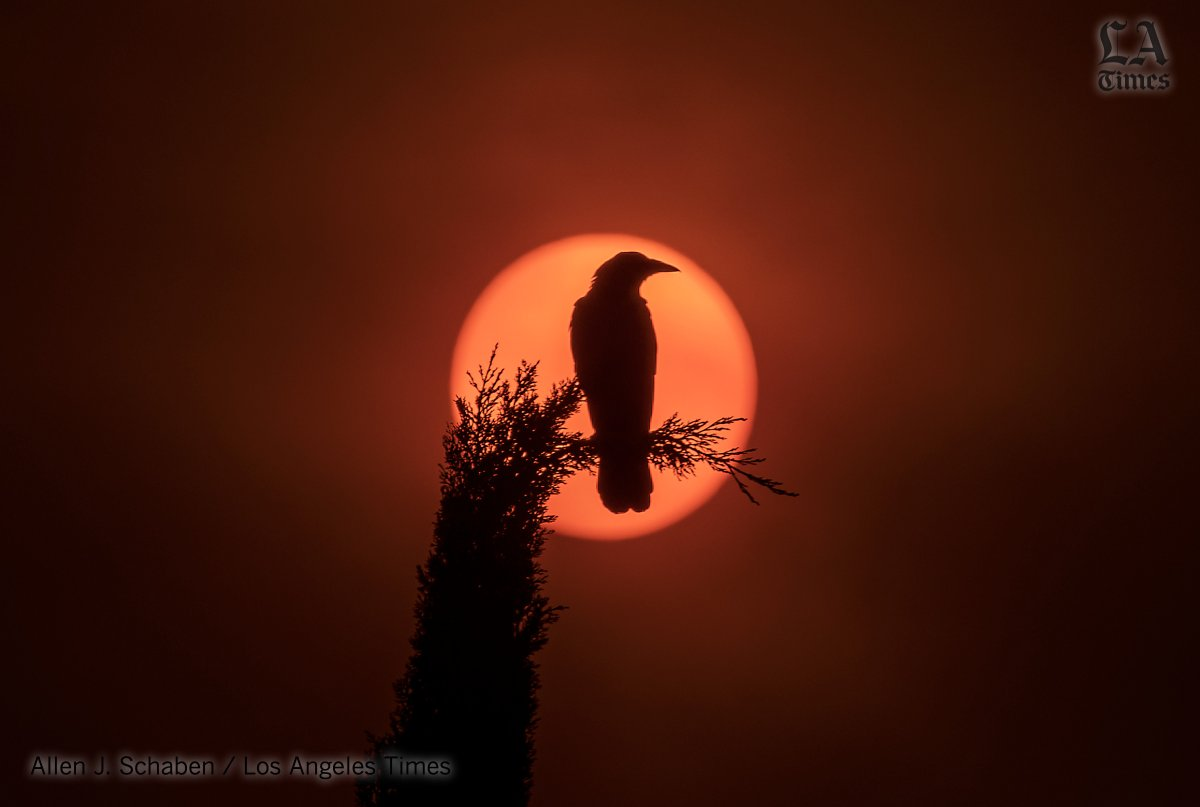 A crow perched on a cypress tree is silhouetted by the ash-obscured sun in Garden Grove #OC as #wildfires create bad air quality, rain of ash across Southern California @latimesphotos #redsun https://t.co/aNIKWdZPQO https://t.co/hxAZ5jPUzu