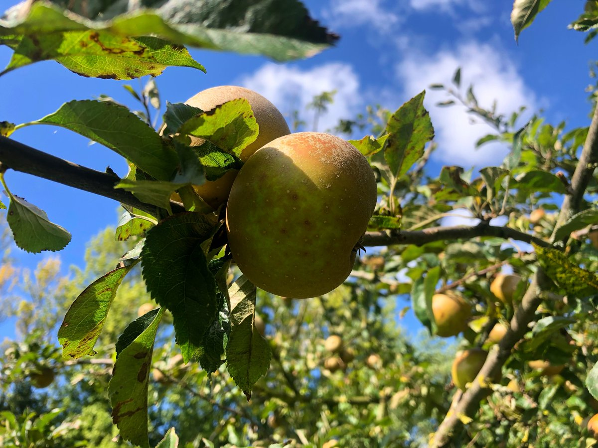 Our Autumn Harvest is BACK! 🌾🍏Running until 21 September now is your chance to enjoy a good old fashioned apple pick in our orchard! With over 100 varieties of apple there is plenty to choose from. https://t.co/EleUirrFaj