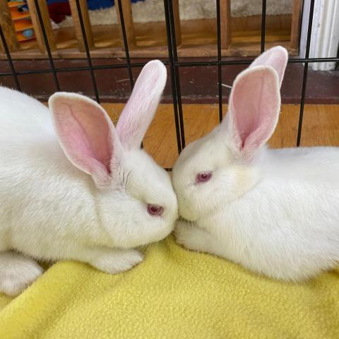 Wilbur and Willa are finally ready to start looking for their forever home!   New Zealand White bunnies not a lot of people's first choice because of their albino appearance. However, their demeanor makes them an excellent choice for both new and experienced bunny owners. https://t.co/w82WELbesv