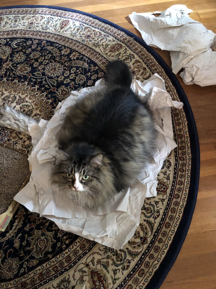 Mommy got me the best toy! Crinkley paper! I love the noise it makes when I jump on it. Best game ever! @Cleo_sMommy @MaineCoonCatsOH @dsdr2011 @JusticeToAll @Wxgirl169 https://t.co/exGS4aH8vM