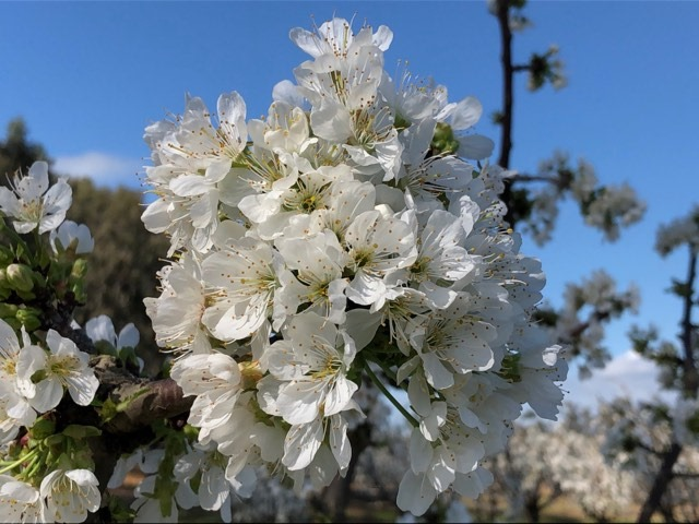 🐝 Blossom aplenty at our Yarroweyah farm! 🐝 Growing in an earlier region such as Yarroweyah in northern Victoria, enables us to supply cherries to the markets from the beginning of November.  #aussiefarmers #australiancherries #allabouttaste #koalacherries https://t.co/z78eoPv9N3