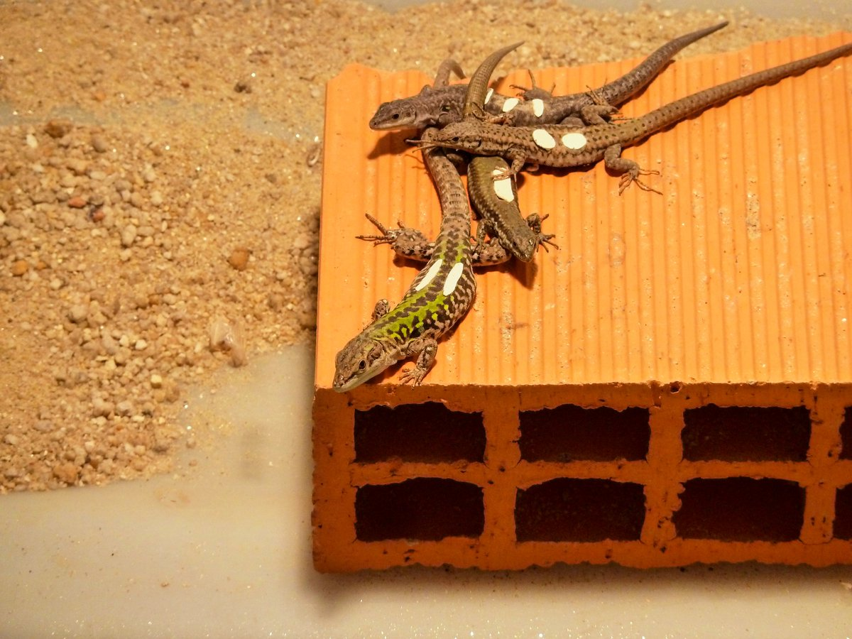 *NEW PAPER* What happens when we put together an invasive and a native lizard species? Will they fight? Will they be friends?Why is the invasive lizard doing so much better than the native lizard in the wild? All the answers inside this awesome paper!!! https://t.co/VB5IzFcxqR https://t.co/LX30sJPgaJ