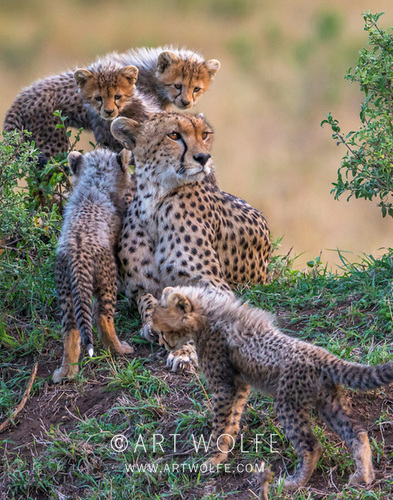 How time flies! Six years ago today I was photographing this cheetah and her cubs in the Maasai Mara. What a moment! #FlashbackFriday #wildlifephotography #explorecreateinspire #Endangered @RemembrWildlife https://t.co/zyG0svMZKQ